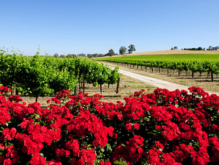 Barossa Valley Vineyard