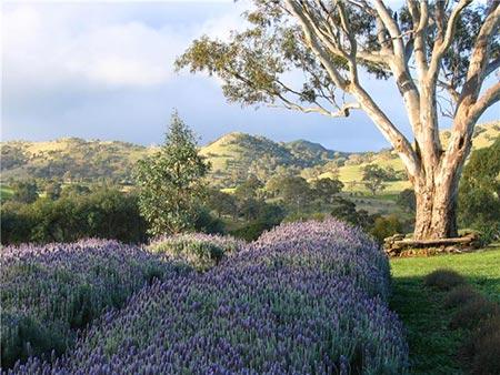 Lyndoch Lavender Farm